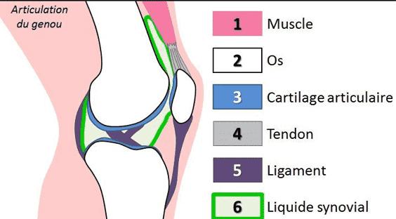 Plan de coupe d'une articulation du genou